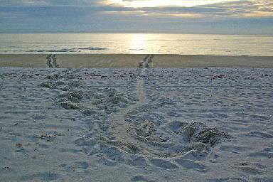 Sea turtle tracks Opens in new window
